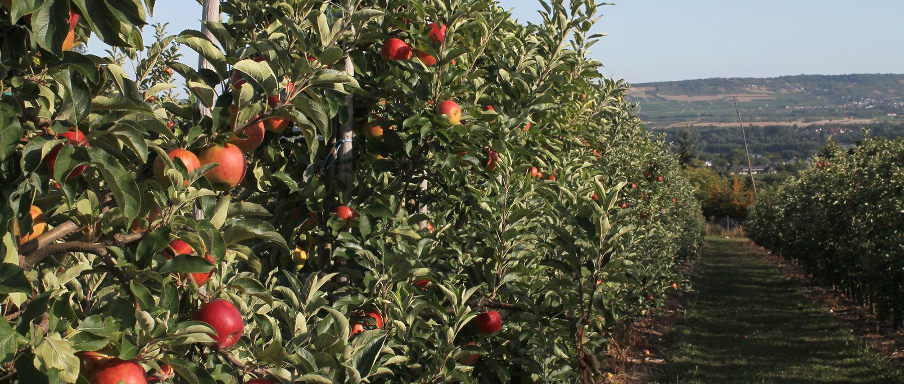 Apfelreihen