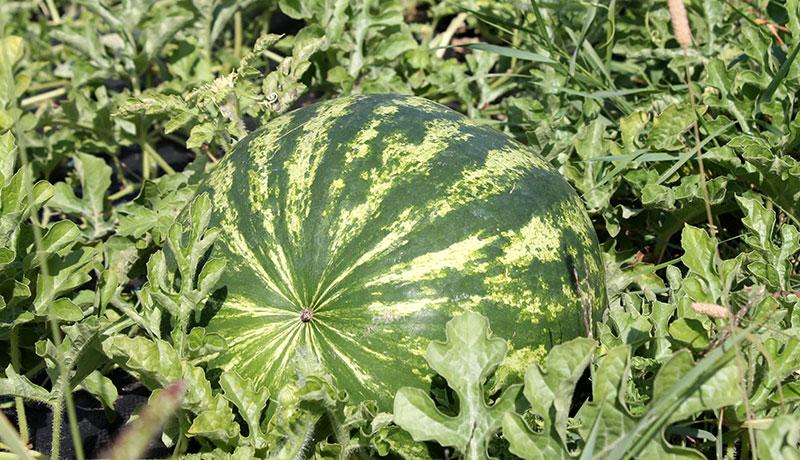 Freiland Wassermelonen wachsen auch im Rheingau.