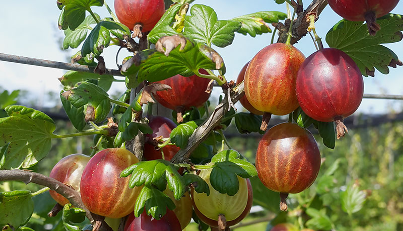 Stachelbeeren am Baum